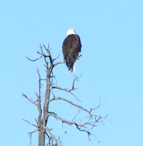 zoomed in eagle.jpg